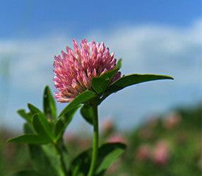 Herbicid na jetel